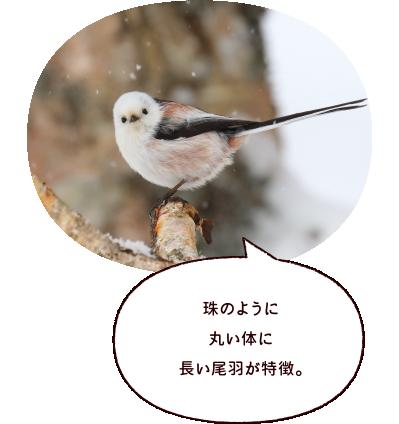 珠のように丸い体に長い尾羽が特徴。