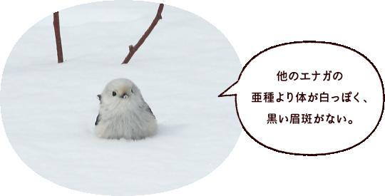 他のエナガの亜種より体が白っぽく、黒い眉斑がない。