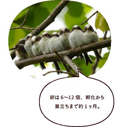 卵は6〜12個、孵化から巣立ちまで約1ヶ月。
