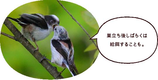 巣立ち後しばらくは給餌することも。