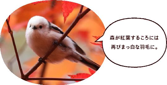 森が紅葉するころには再びまっ白な羽毛に。